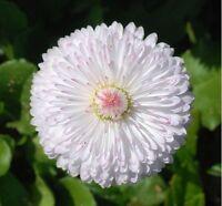 Dwarf White English Daisy- 50 Seeds- BOGO 50% off SALE