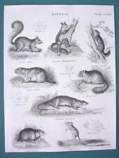 Mammals Squirrel Lemur Hamster Jerboa Rat Dormouse - 1840 Fine Quality Print