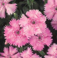 Flower Dianthus Bulk Pack Festival Pearl F1-400 Pelleted Seeds