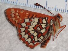 Euphydryas chalcedona California #Pg-69 Butterfly Insect Moth