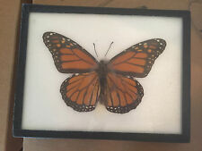 Real Framed Female Monarch Butterfly from the United States