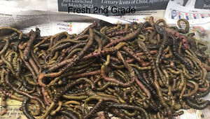 250g Approx 30-40 Salted Lugworm Sea Fishing Bait Beach Boat Lug Worm Sussex 🎣