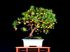 Strawberry tree - Arbutus unedo - 30 bonsai seeds - SOW ALL YEAR
