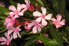 Nerium oleander Pink Nanum 10 seeds