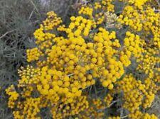 250  Graines d'Hélichryse, Immortelle d'Italie, Helichrysum italicum Curry seeds