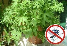 100pcs Citronella Plant seeds Mozzie buster plant mosquito repellent plants