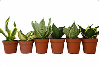 "6 Different Snake Plants in 4"" Pots - Sansevieria - Live Plant - FREE Care Guide"