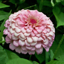 ZINNIA Dahlia Flowered Pastel Dream Seeds (F 97)