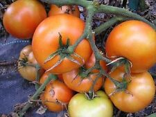 Mountain Princess Heirloom Tomato 20 Seeds Moon Gardens Simply Grown Beautifully