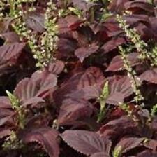 Coleus - Dark Chocolate - 10 Seeds