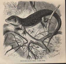 Druck 1878: Perleidechse (Lacerta ocellata).