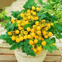 gelbe Cocktailtomate OLA POLKA Tomatensamen Saatgut 130 Samen Buschtomate