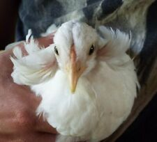 5 Araucana Chicken Hatching Eggs Blue Egg Layers