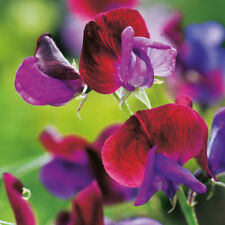 Suffolk Herbs - Sweet Pea Wild - 20 Seeds