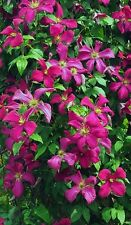 CLEMATIS MADAME JULIA CORREVON plant cut back Transplant now READY FOR SPRING