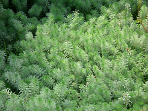 20 Parrot Feather Plants 100% ORGANIC GROWN