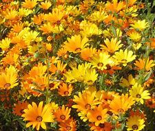 African Daisy Mix Dimorphotheca Sinuata - 5,000 Bulk Seeds