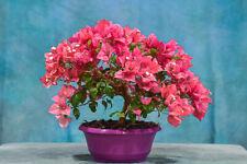 Pretty in 'Pink' Bougainvillea Pre-Bonsai! Prolific Bloomer!