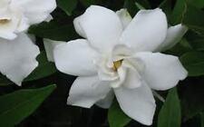 Frost Proof Gardenia - Great Fragrance - Evergreen