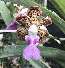V Ambrosian Discovery (V. tricolor var. suavis x V. insignis) Fragrant