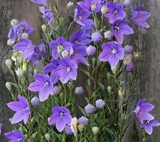 500 pcs flower Seeds Balloon Flower (Platycodon Grandiflorus Blue)