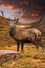 Stordimento scozzese Stag paesaggio tela # 24 Wildlife Foto Wall Art Portrait