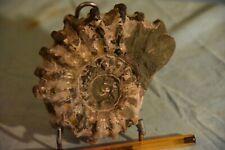ammonite Douvilleiceras inaequinodum albien Boeny, Madagascar
