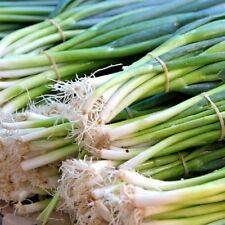 Vegetable Onion Tondo Musona Spring / Salad onion Appx 500 seeds