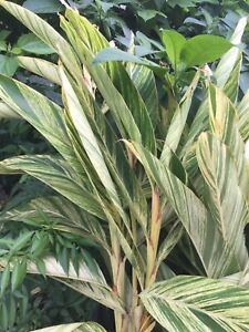 Organic Tropical Established Variegate Shells ginger plant Rare Bright colorful