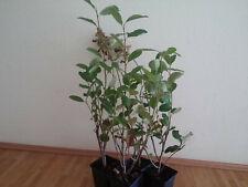 ARONIA exotische Pflanze Samen Saatgut Gartenpflanzen frosthart Balkon BANANE