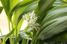 Bärlauch 25 Samen Waldknoblauch - allium ursinum Hexenzwiebel Ramschel  001386