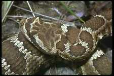 087007 Western Rattle Snake A4 Photo Print