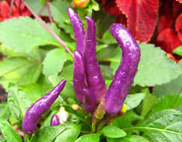 Pfeffer Chili Cayenne Violett 30 Saatgut - Samen