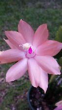 Zygo Cactus - Schlumbergera Sanibel