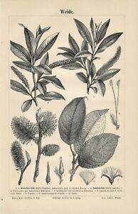 Botanische Tafel WEIDE Original-Holzstich 1890
