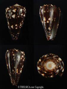 Conus bandanus nigrescens  32.20 mm Gem