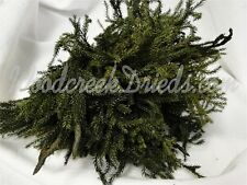 PRINCESS PINE LYCOPODIUM BASIL GREEN PRESERVED FOLIAGE FLORAL DRIEDS FLOWER
