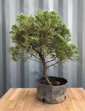 Hollywood Twisted Juniper Pre-Bonsai Tree by The Bonsai Supply