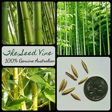 10+ GIANT THORNY BAMBOO SEEDS (Bambusa arundinacea) Privacy Tropical Grows Fast