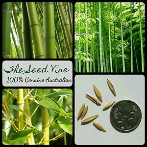 20+ GIANT THORNY BAMBOO SEEDS (Bambusa bambos) CLUMPING Privacy Grows Fast