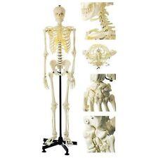 Medical Artificial human Skeleton Model Life Size Female/Male