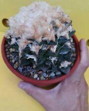 Ariocarpus fissuratus LANATUS SPECIAL amazing GYANT MOTHER OWN ROOT copiapoa