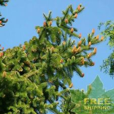 NORWAY SPRUCE Picea Abies - 30 SEEDS. FREE S&H