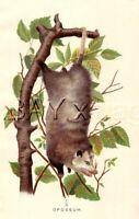 Marsupial Opossum, Possum, 1897 Antique Color Print