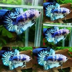 Blue Marble Halfmoon Plakat Male - IMPORT LIVE BETTA FISH FROM THAILAND