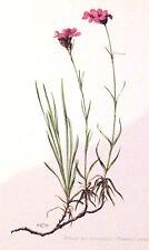 PLANCHE ANCIENNE BOTANIQUE . OEILLET DES CHARTREUX N°40 (FL1)