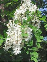 Robinie (Robinia pseudoacacia) 50 Samen *BONSAI* Scheinakazie Silberregen
