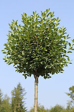 Kugel-Kirsche, 170-180 cm, Stämmchen, Prunus fruticosa Globosa + Dünger