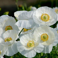 Kings Seeds - Papaver - Poppy - Bridal Silk - 500 Seeds