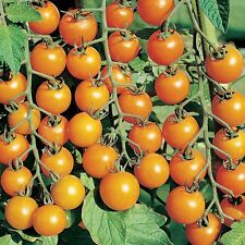 Tomato Ambrosia Gold RIVALS SUNGOLD  VERY RARE DELICIOUS PROLIFIC 15  Seeds